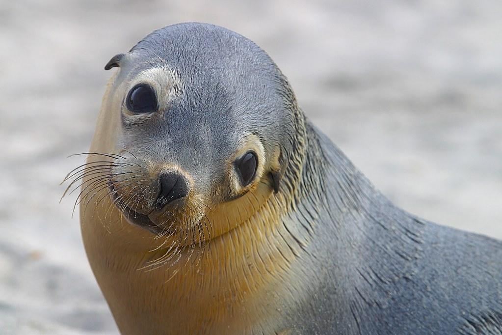 Australian Sea Lion | jc50d | Flickr