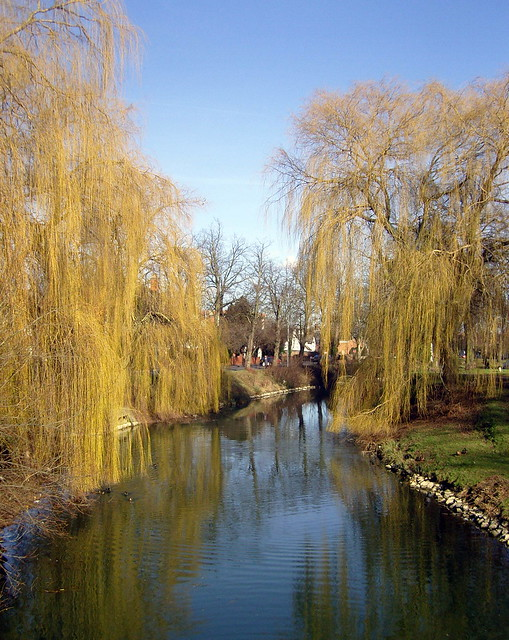 Weeping willows alongside the river welland spalding lincolnshire