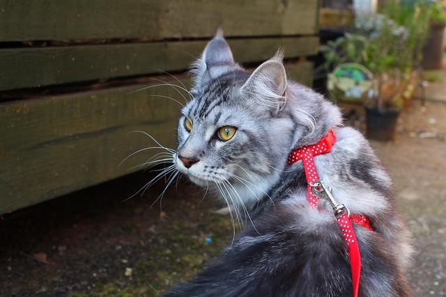Un chat peut être habitué à sortir en harnais.