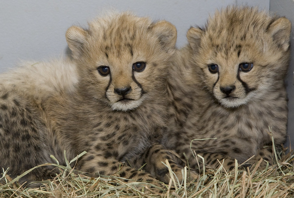 Smithsonian's National Zoo's Cheetah Cubs Are Thriving ...