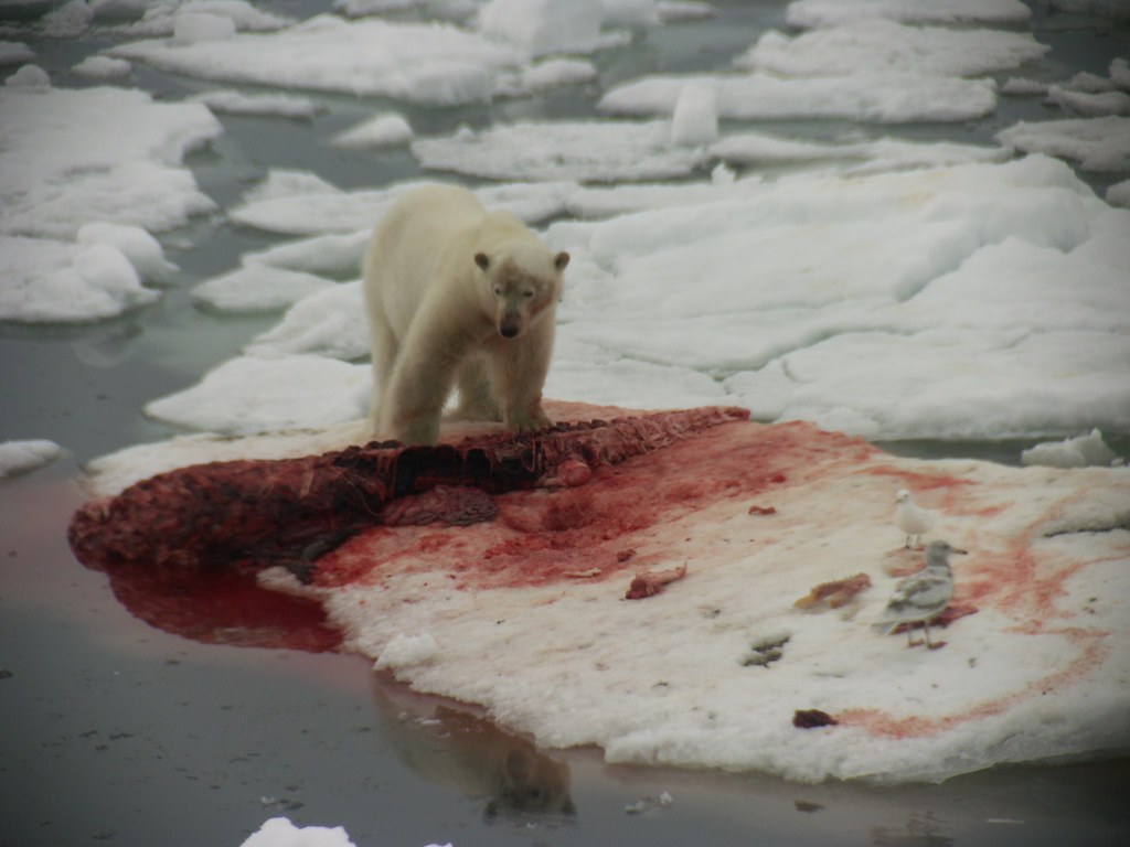 pictures of polar bears eating images pictures of polar bears eating polar bear eating beluga polar bear eating beluga source abuse report