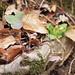 Hepatica nobilis (+ Primula vulgaris) (48°07' N 16°13' E)