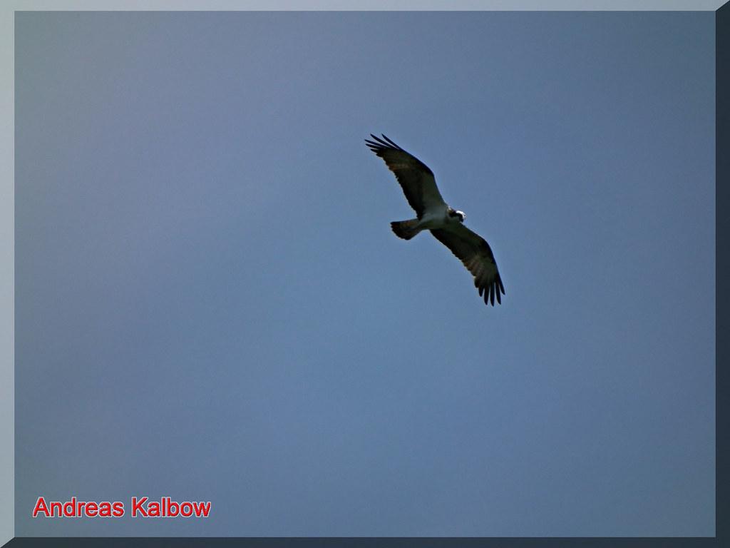 Fischadler-54 | Fischadler Flugbild | Vogelfoto69 | Flickr