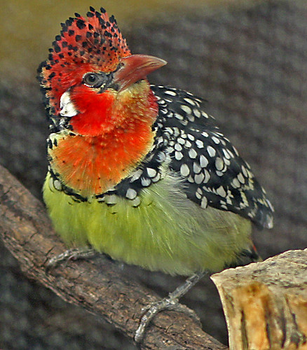 Red-and-Yellow Barbet | by Segovia 37