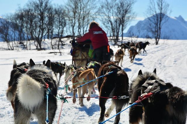 Trineo de perros en Laponia Noruega