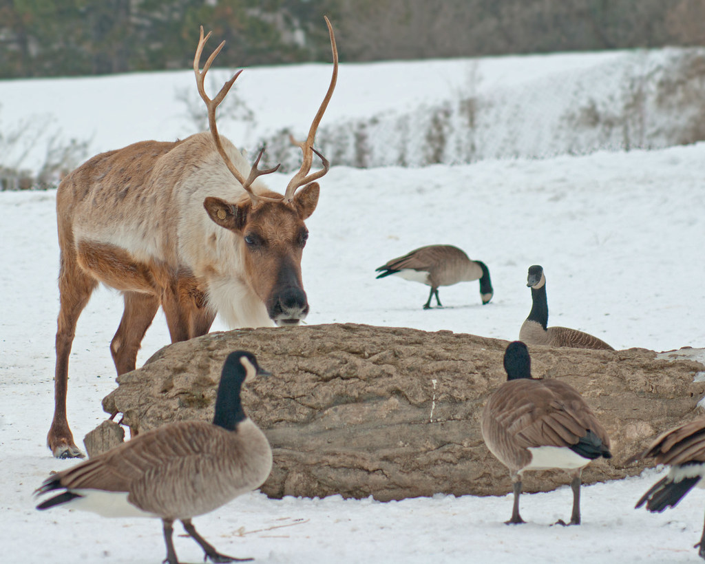 Canada Goose Food Journal Free