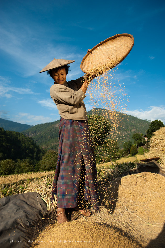 A woman uses the traditional method of sorting rice called ...