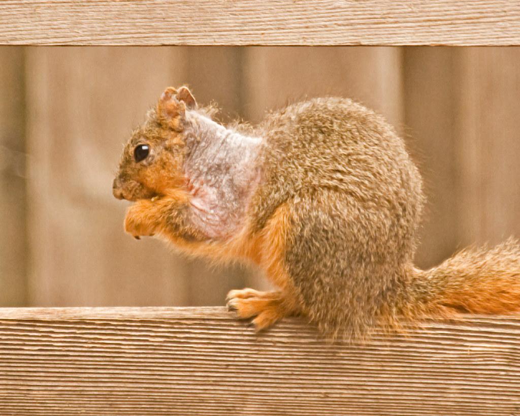 Squirrel losing hair. | Mange? | K L | Flickr