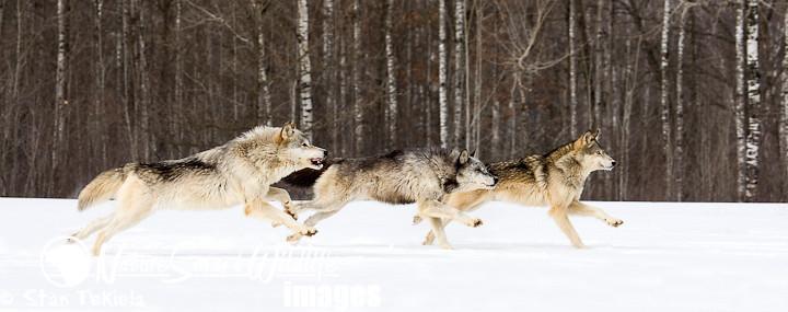 Gray Wolf Canus Lupus Gray Wolf Canus Lupus Pack