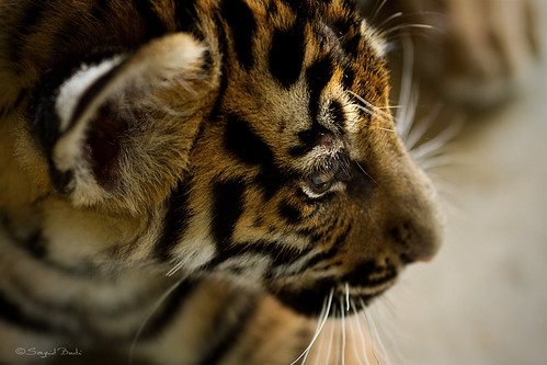 Dreamy Tiger | by Sayid Budhi