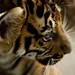 Dreamy Tiger