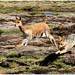 male vicuña against male fox 2