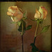 two valentine roses