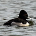 Ring-necked Duck Swimming Away