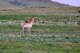 Antelope aka Pronghorns | by Larry1732