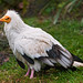 Egyptian vulture on the grass
