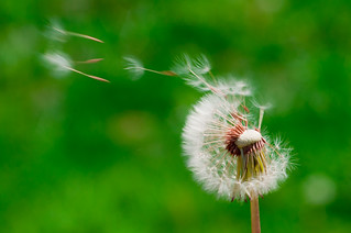 Dandelion wish (88/365) | by LifeSupercharger
