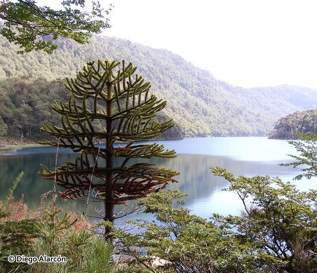 Árbol joven de Araucaria araucana
