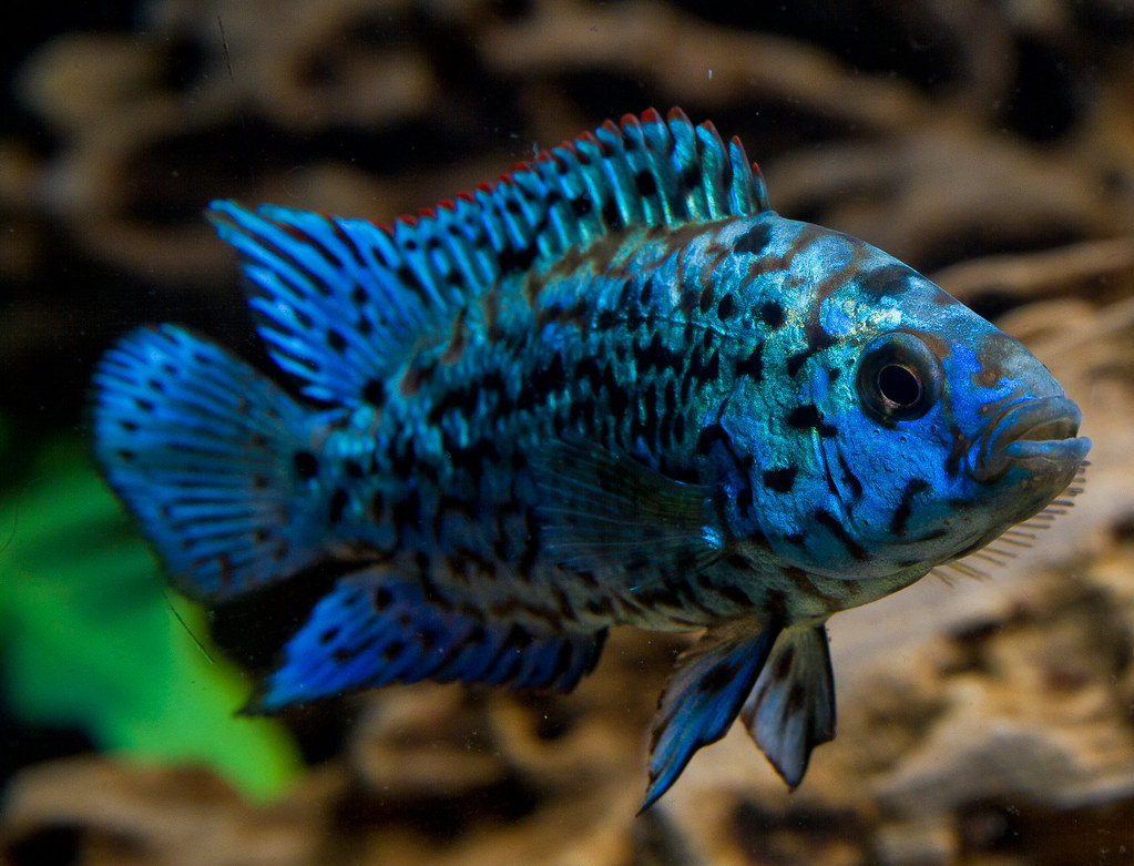Juvenile Electric Blue Jack Dempsey | Poydras.ba | Flickr