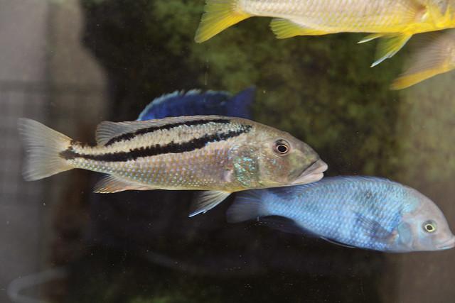 Аристохромис Кристи (Aristochromis christyi), фото фотография аквариумные рыбки