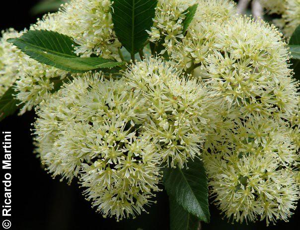 Caldcluvia paniculata