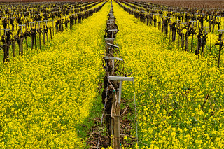 Mustard Fields Forever | by BobMc