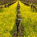 Mustard Fields Forever