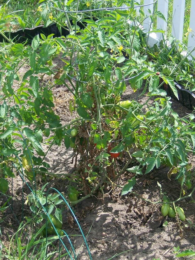 tomatoe plant planta de tomate tomatoe plant planta. Black Bedroom Furniture Sets. Home Design Ideas