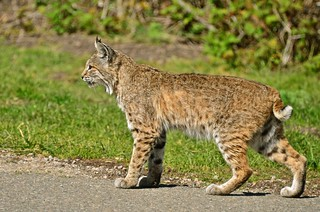 Mama Bobcat - A Series