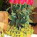 Roses & Hypericum