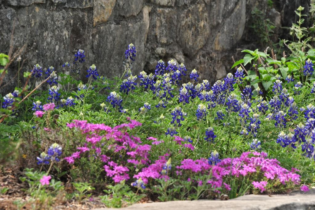 Bluebonnet Country State Flower Of Texas Outside The