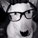 World's smartest dog (English bull terrier)