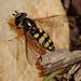 Eupeodes americanus, American Hover Fly