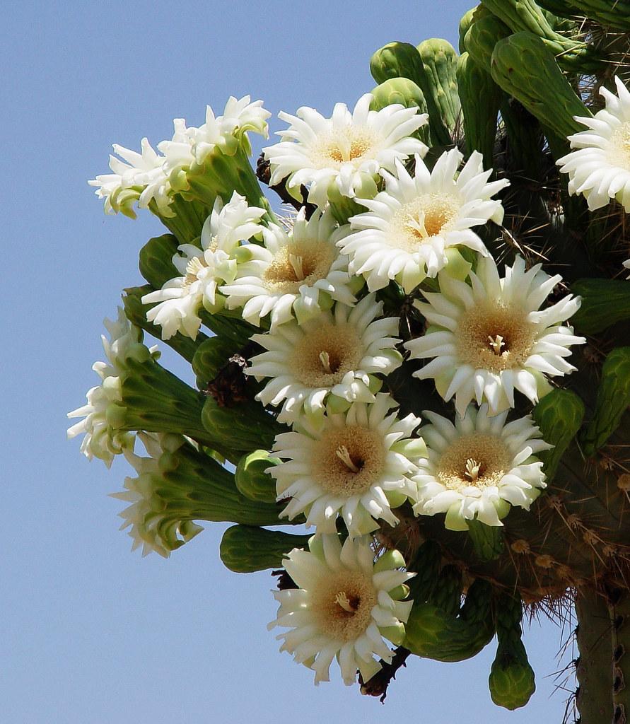 Saguaro Blooms Arizona State Flower.