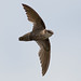 Chimney Swift04