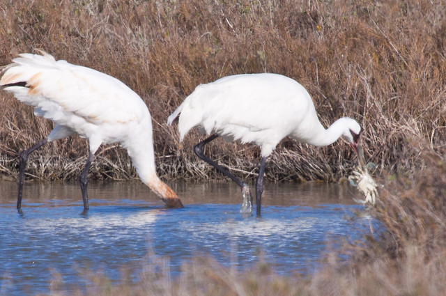 Whooping Crane eating a blue crab