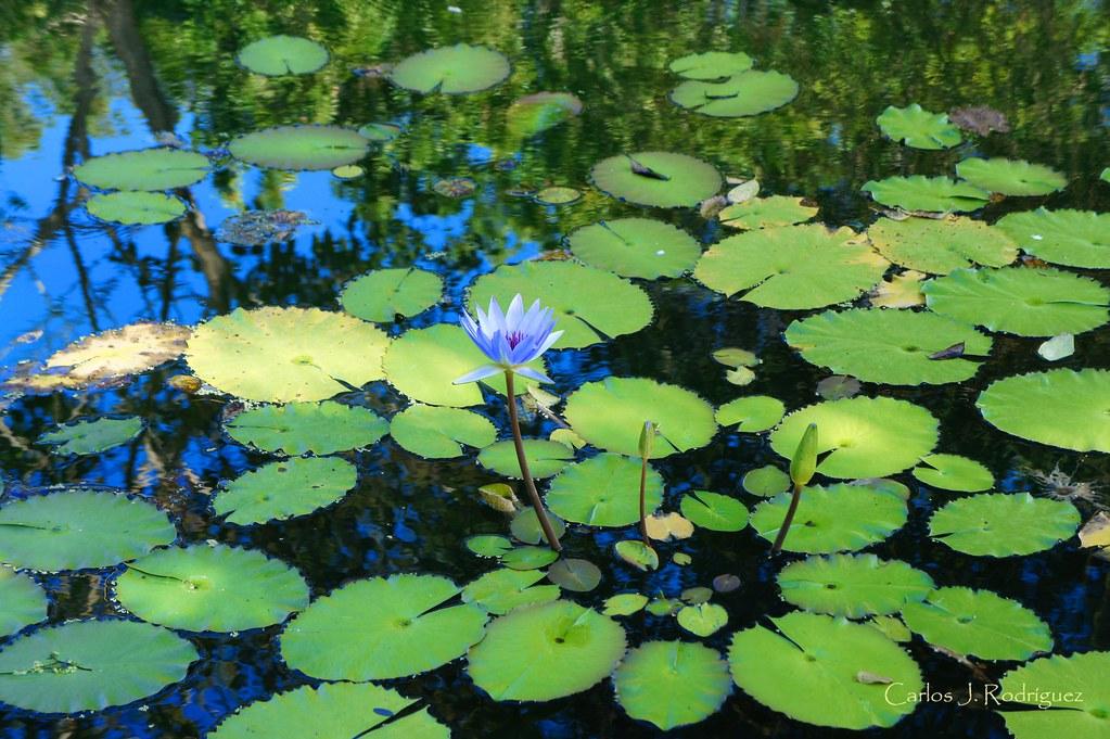 Lotus flower jardin botanico caguas puerto rico nex 5 for Jardin xanadu puerto rico