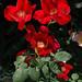 'Vesuvius' roses