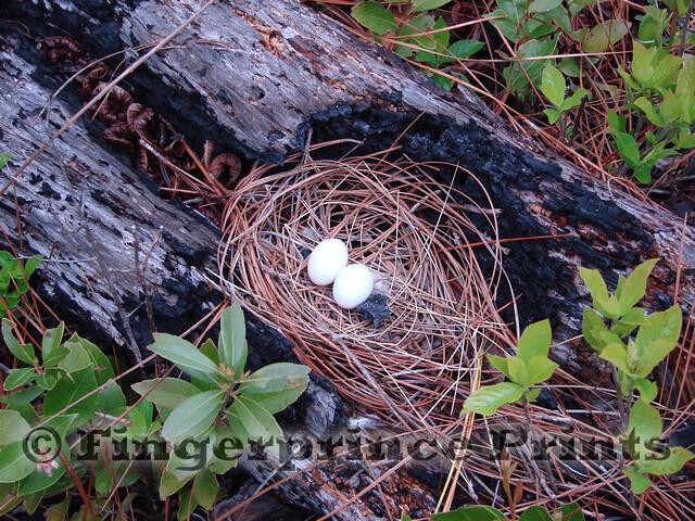 Mourning Dove Nest Mourning Dove Nest | O...