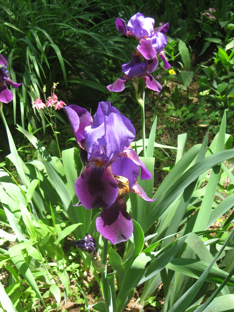 purple iris in bloom glistening iris lastonein flickr. Black Bedroom Furniture Sets. Home Design Ideas