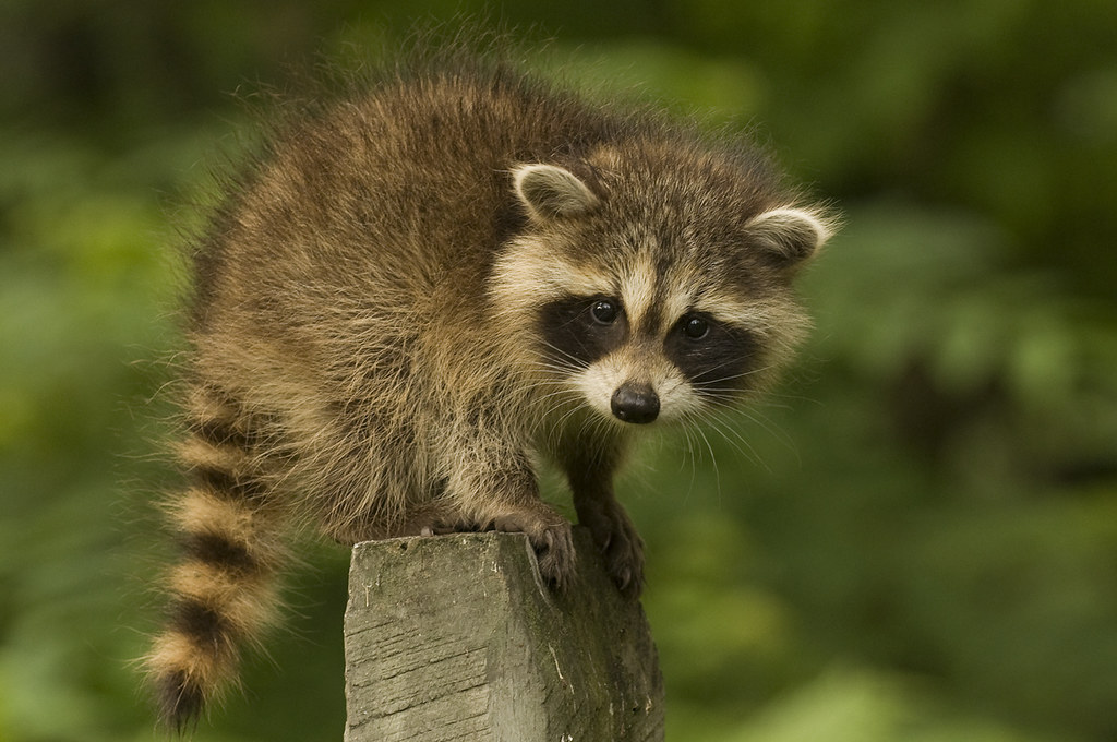 free hq baby raccoon - photo #41