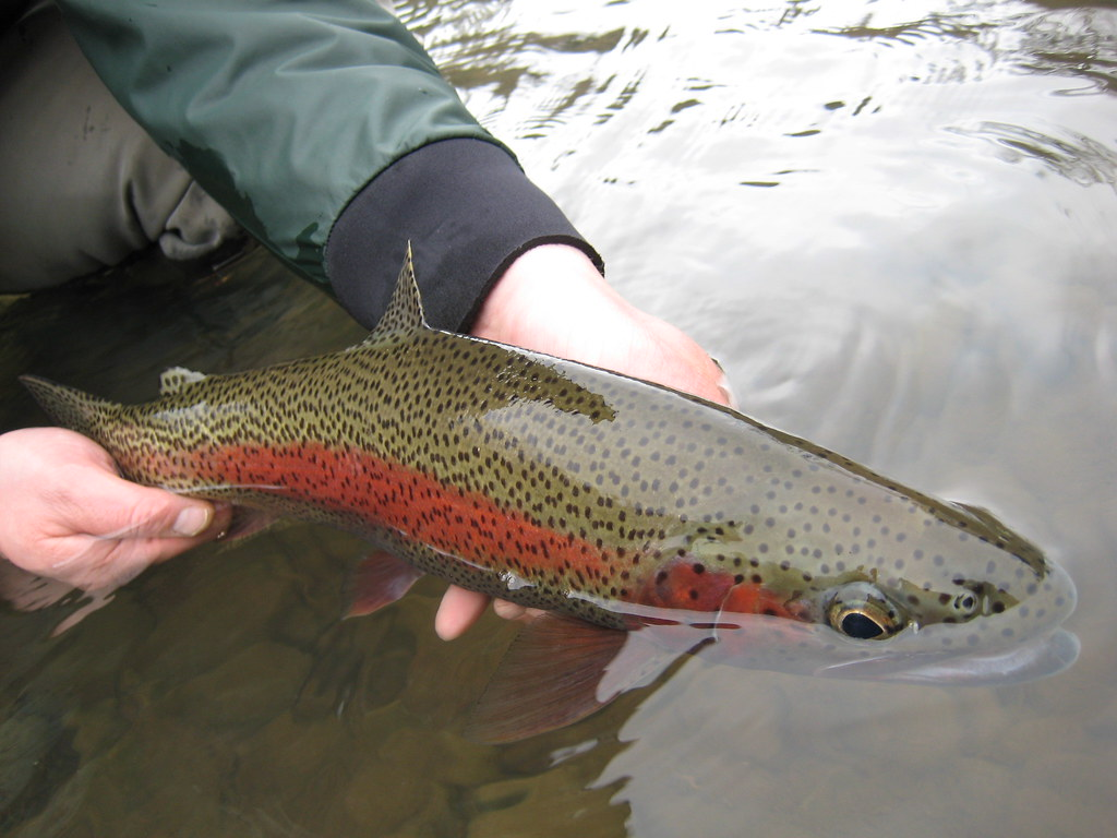 Wild mckenzie river rainbow trout ethan nickel flickr for Fishing eugene oregon
