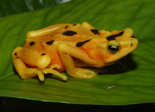 Panamanian Golden Frog #2 | by Maryland Zoo