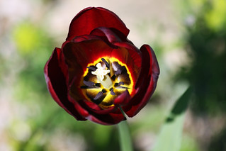 Spring Garden - April 2011 - Exotic Tulip with Bokeh | by gareth1953 Cataract Creating Chaos