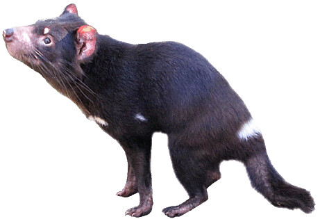 tasmanian devil female lge 13 cm wide this clipart