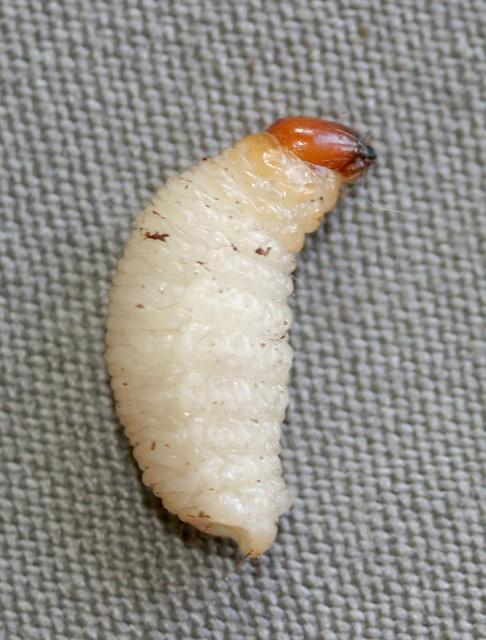 AKK 8-003 #2 corm weevil larva 0018 | Banana corm weevil ...