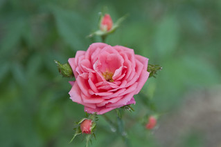 England Rose | by freestyle17