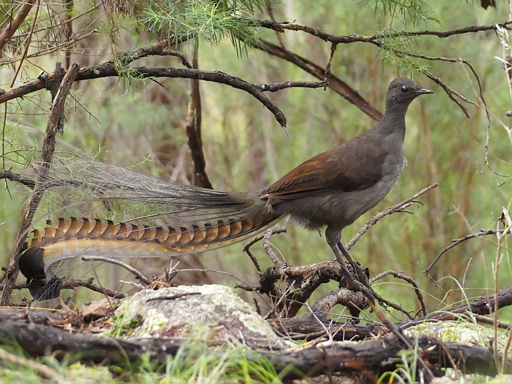 Superb Lyrebird (Menura novaehollandiae) | Rocky Hall, NSW ...