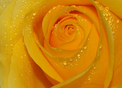 Yellow Rose With Water Drops: Yellow Rose Interior, With Raindrops, Sooc