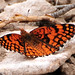 Spring Mountains acastus checkerspot Butterfly
